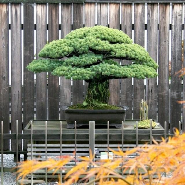 Ovo Bonsai drvce staro je 1625 godina.
