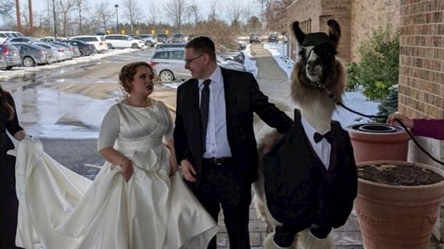 Jedan lik je iznajmio ljamu za sestrino vjenčanje.