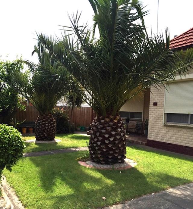 Palme koje izgledaju kao divovski ananas