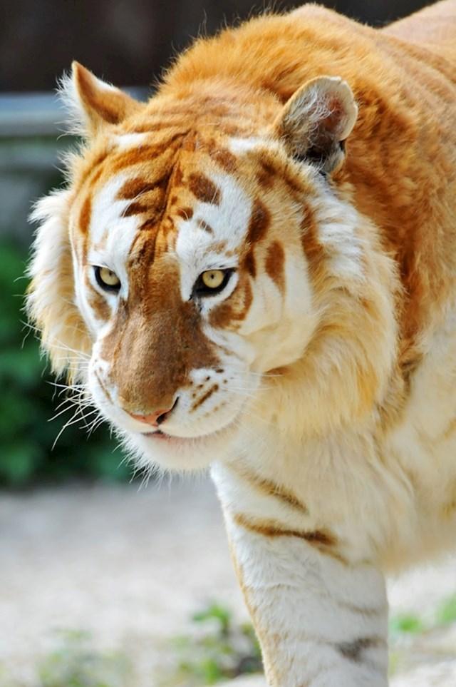 """Ovaj tigar je primjerak vrlo rijetke vrste """"zlatnih tigrova"""". Procjenjuje se da ih je ukupno još 30-ak."""