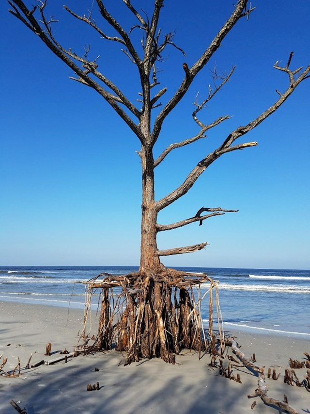 Uragan Irma je malo po malo otpuhao uzvišicu na kojoj je naraslo ovo stablo.
