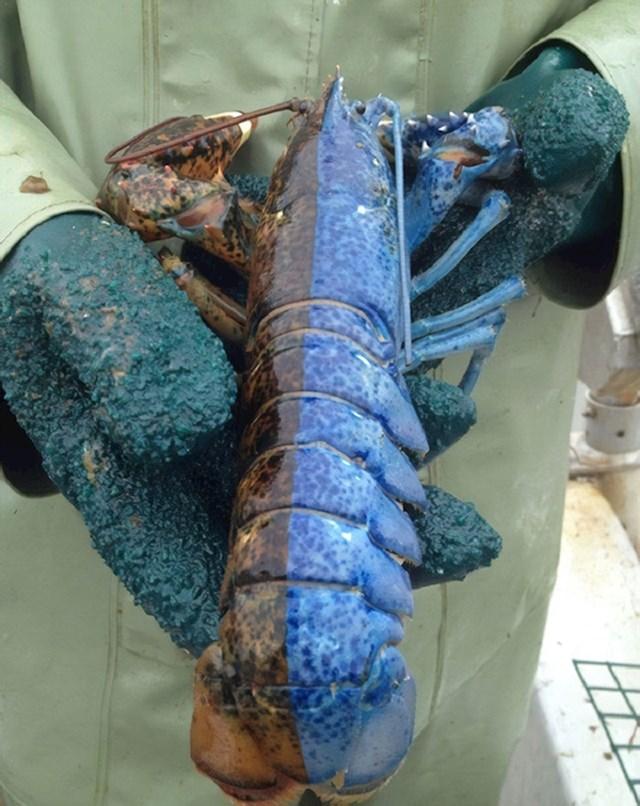 Jedna polovica ovog jastoga je prekrasne plave boje. Ovako nešto se događa jednom u 50 milijuna slučajeva.