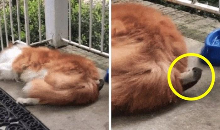 Žena je snimila skroz neočekivan prizor dok je pas spavao ispred ulaznih vrata kuće