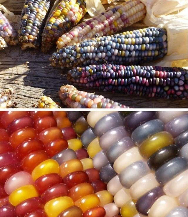 Jeste li ikad vidjeli šareni kukuruz?