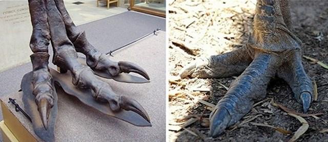 Usporedba stopala tiranosaura i emu ptice