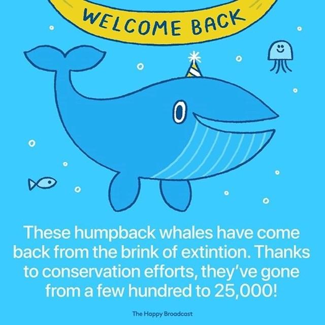 Grbavi kitovi spašeni su od izumiranja. Sa svega par stotina jedinki, broj im je skočio na 25000!