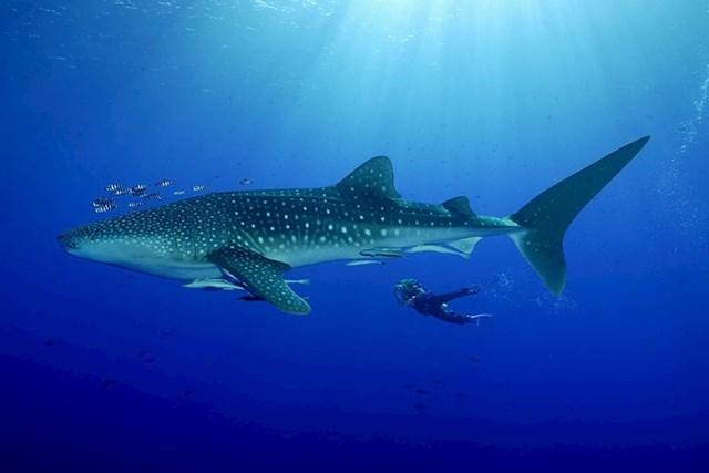 Na ovoj slici možete vidjeti veličinu odrasle kitopsine.