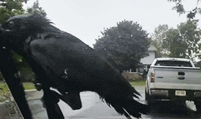 Htio je očistiti vjetrobransko staklo, a onda ga je nasmijala najtvrdoglavija ptica na svijetu