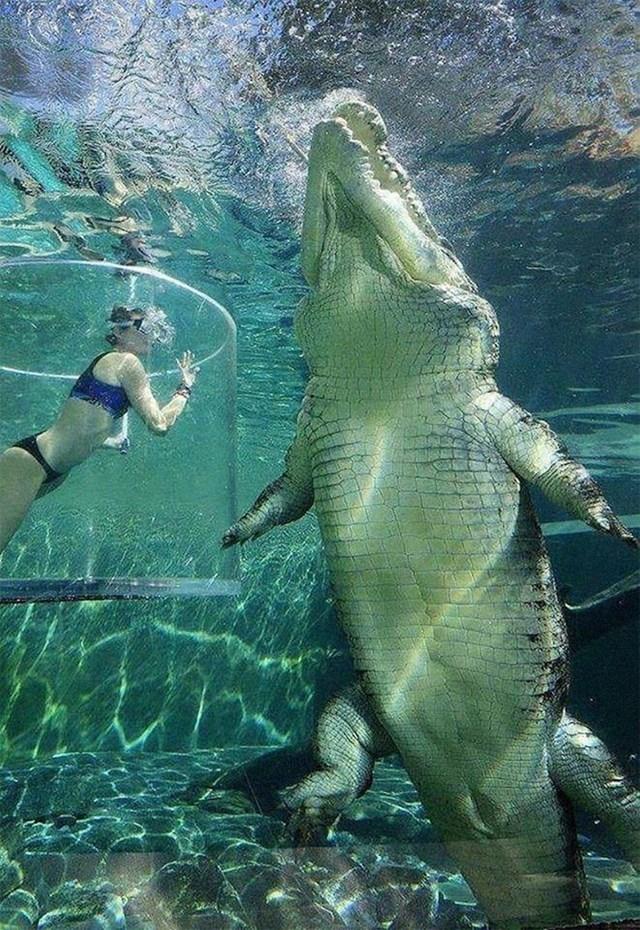 Ovaj morski krokodil je ogroman...
