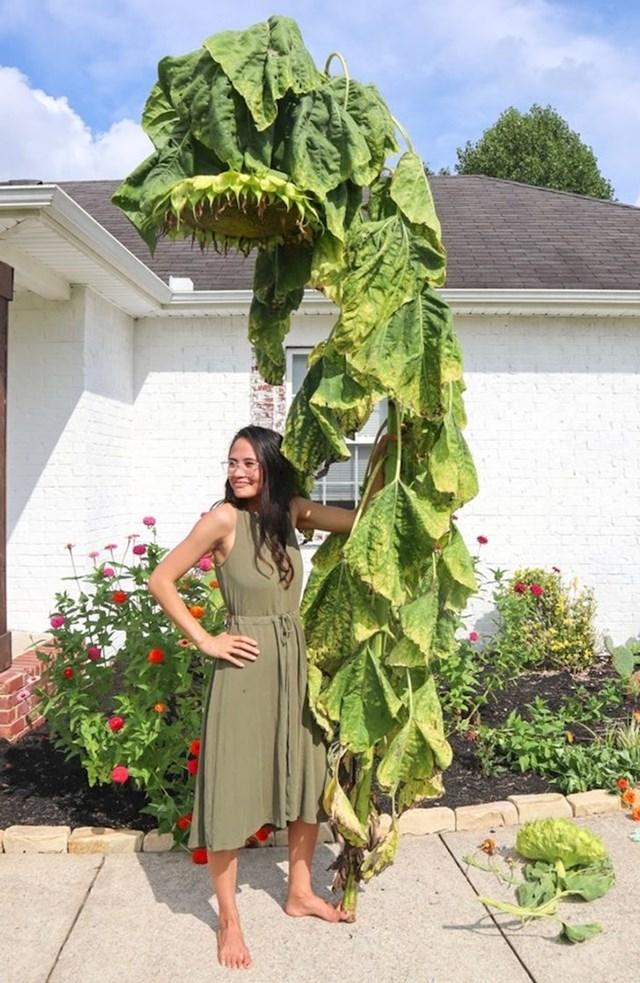 Pogledajte koliki je bio suncokret koji je rastao u njenom vrtu.