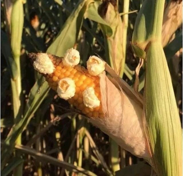 Ovako vrućina utječe na kukuruz u Francuskoj.
