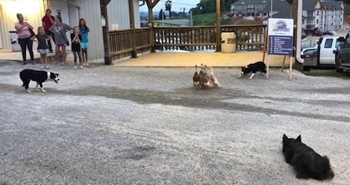 VIDEO Psi su se polako približavali patkama, pogledajte zašto su na kraju dobili pljesak