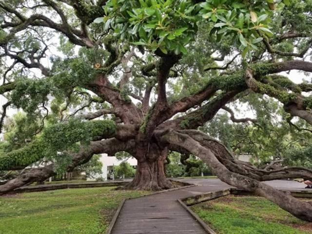 250 godina staro stablo u Jacksonvilleu, SAD