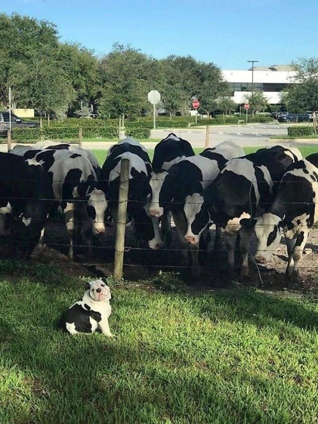 Bio je zbunjen kad je vidio krave koje izgledaju kao on.