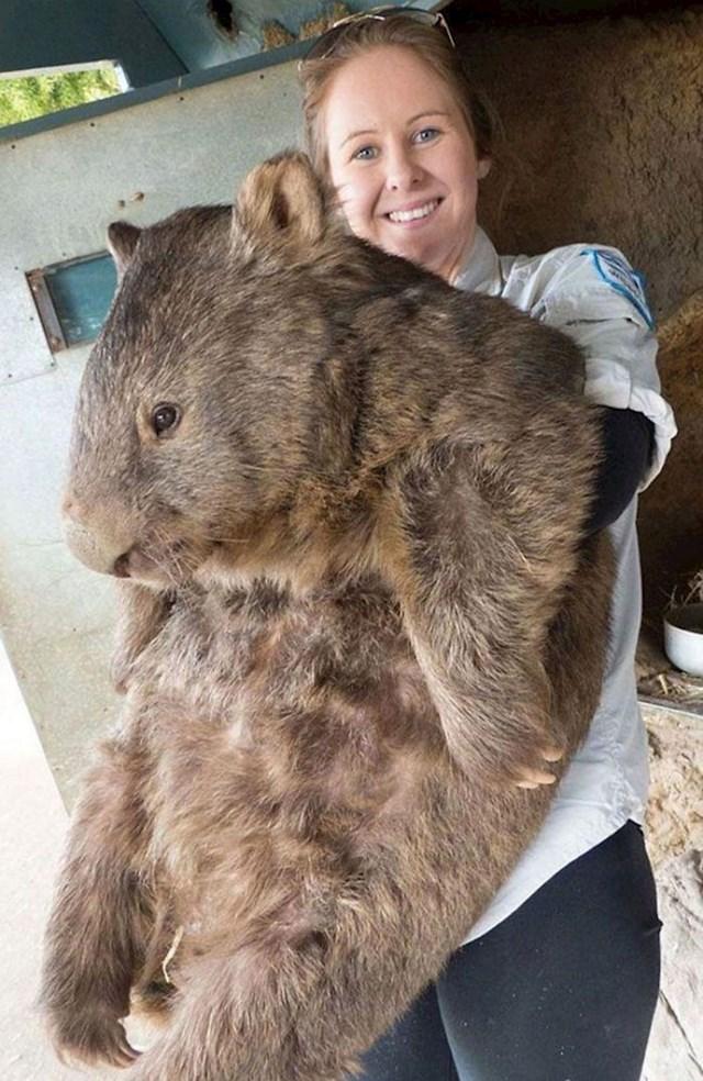 Patrick je najveći i najstariji vombat na svijetu.
