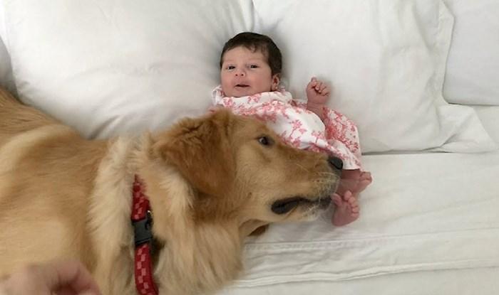 Uzbuđena zlatna retriverica je prvi put vidjela novu članicu obitelji, roditelji su snimili njenu reakciju