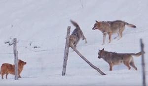 VIDEO Čopor vukova napao je psa, on ih je nadmudrio i spasio se u zadnji tren