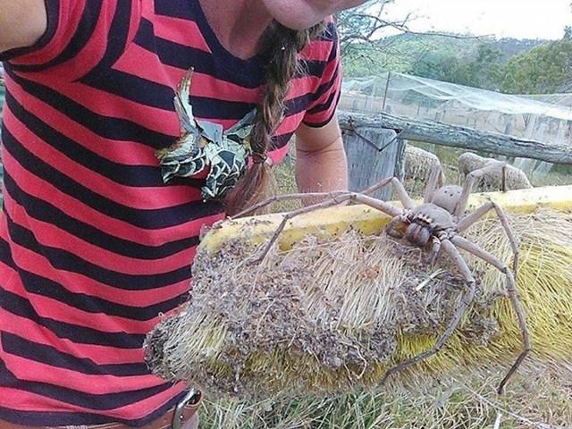 Vjerovali ili ne, ovo je jedna od manje opasnih vrsta pauka u Australiji.