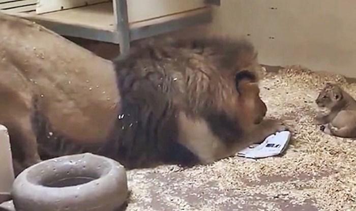 VIDEO Zoološki vrt je podijelio slatku snimku tate lava koji je prvi put vidio svoju bebu