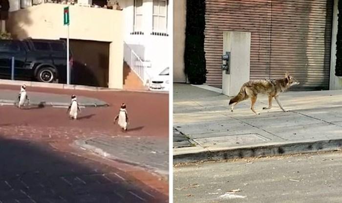Dok su ljudi bili u karanteni, ove životinje su uživale odmarajući i trčkarajući po gradu