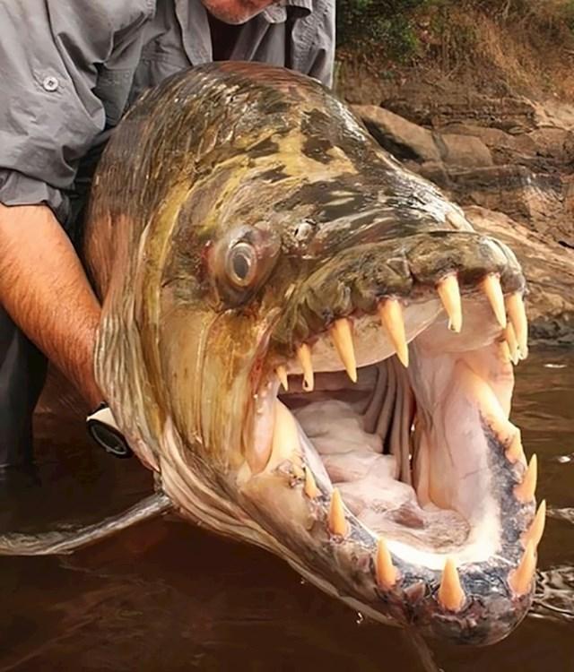Divovska tigar-riba izgleda kao da je upravo isplivala iz nekog horora...