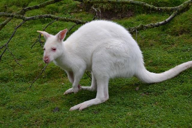 Jeste li ikad čuli za albino klokane? Ovako izgledaju.
