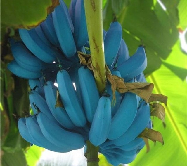 Plava javanska banana