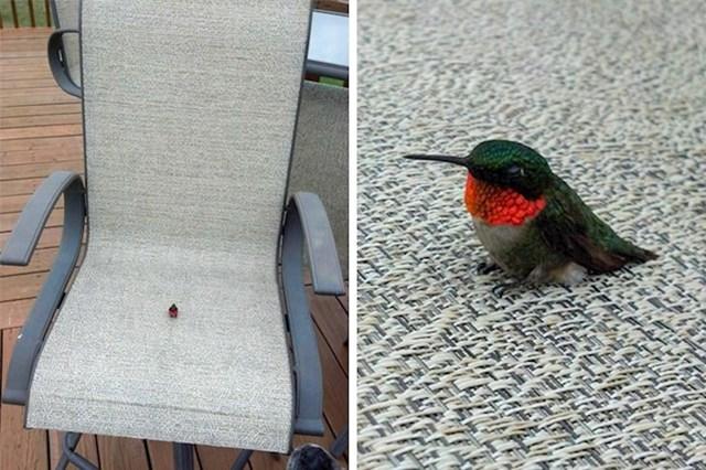 Na prvi pogled možda izgleda kao kukac, no zapravo je riječ o kolibriću!