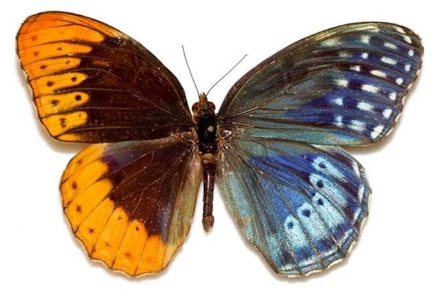 Ovaj leptir je istovremeno i muškog i ženskog spola.