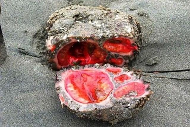 Pyura chilensis - živući kamen