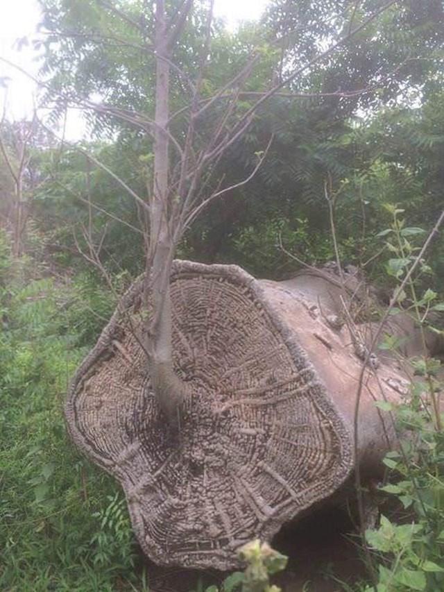 Novo stablo raste iz starog...