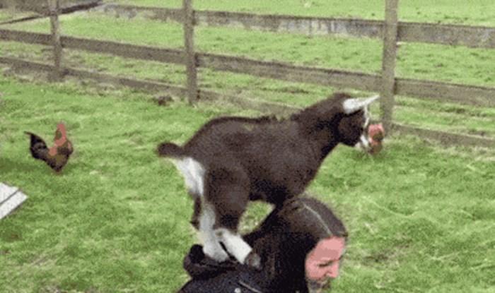 8 zanmimljivih GIFova koji dokazuju da su koze životinjski majstori parkoura