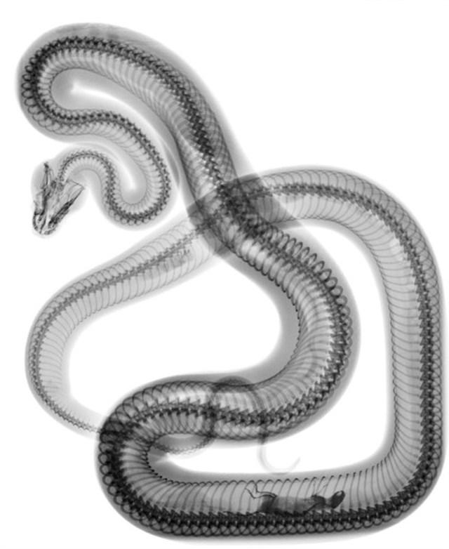 Rendgenska slika zmije koja se najela
