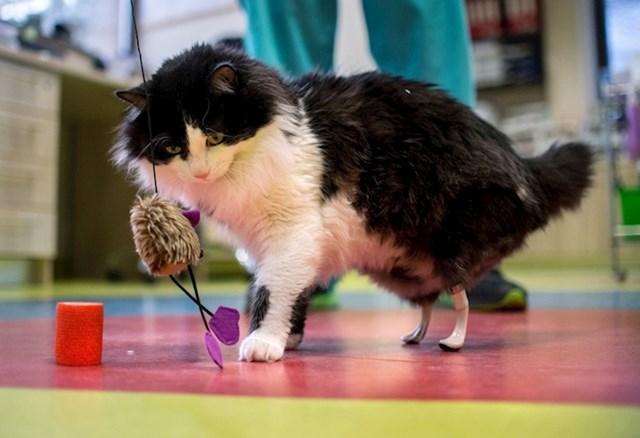 Mačku beskućnicu udario je auto i ostala je bez zadnjih nogu. Bugarski kirurg joj je operacijom i protezama vratio sposobnost hodanja.