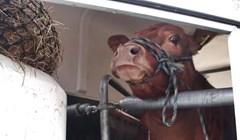 Krava je na putu do klaonice shvatila da je čeka nešto strašno, njena reakcija će vas rasplakati