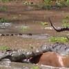 Antilopa se nevjerojatnom srećom spasila i pobjegla od krokodila, evo kako joj je to uspjelo
