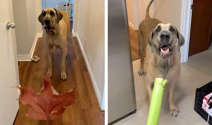 Vlasnici su primijetili da se njihov ogromni pas svega boji, snimili su njegove simpatične reakcije