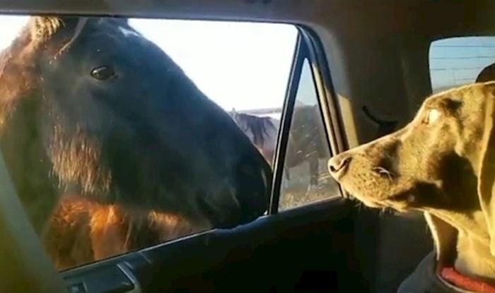 VIDEO Pas nije imao pojma kako da reagira kad su konji došli do auta
