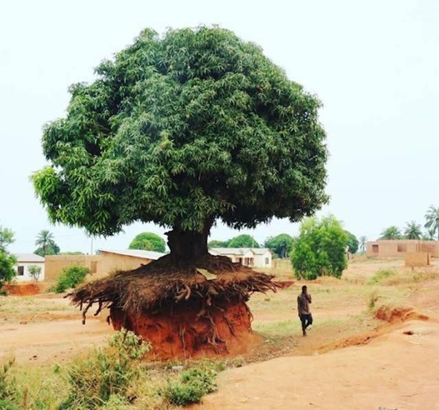 Nisu htjeli odustati od ovog starog drveta.