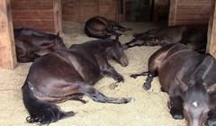 VIDEO Spavanje među konjima je zadnja stvar koju želite, razlog će vas nasmijati do suza