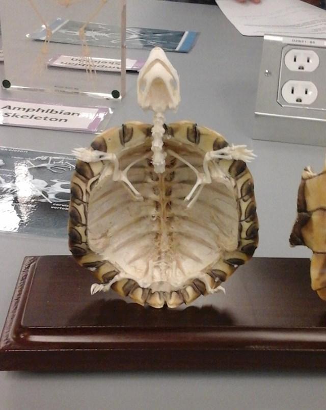 Ovako zapravo izgleda kostur manje kornjače.