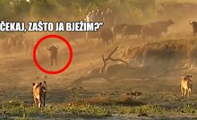 VIDEO Kad lovac postane žrtva: Pogledajte neke od najluđih okršaja u životinjskom svijetu
