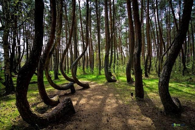 Savijena šuma u Poljskoj