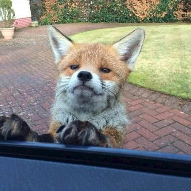 Ova lisica nije zadovoljna jer niste nasmijani.