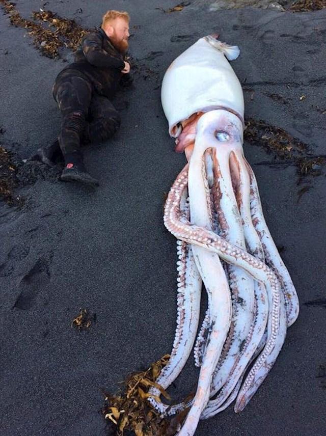 Novozelanđanin je na jednoj plaži kod Wellingtona pronašao ogromnu lignju.