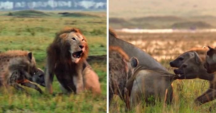 VIDEO Lav je gubio svoju borbu protiv čopora hijena, no onda ga je čuo prijatelj i spasio mu život