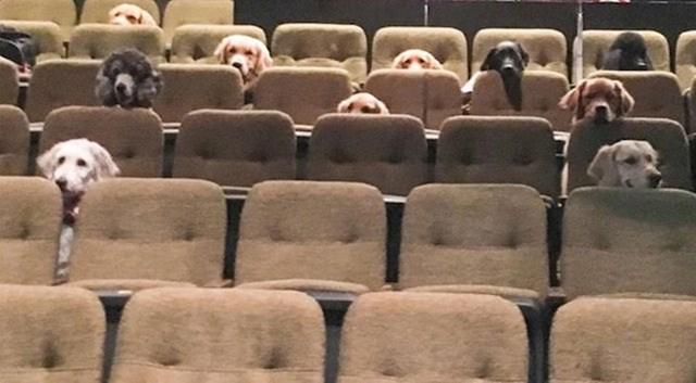 Ova skupina budućih pasa vodiča mirno je sjedila tijekom čitavog koncerta kako bi im se testiralo strpljenje i smirenost.