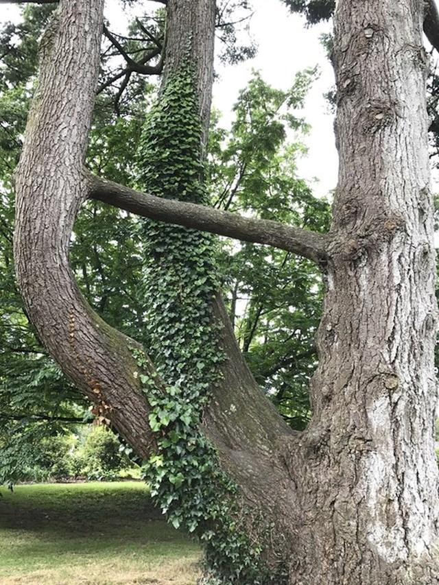 Jeste li ikad vidjeli drvo s granama koje su se spojile pomoću još jedne grane?