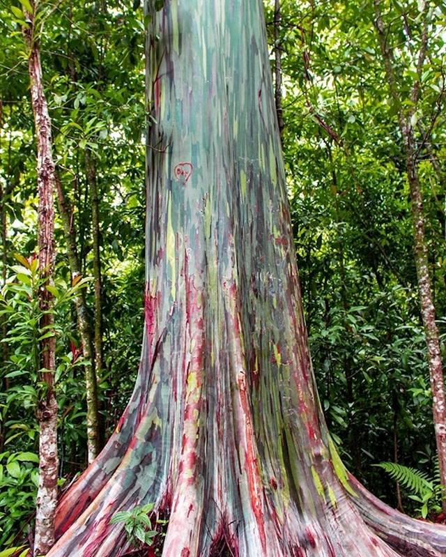 Ovo drvo se zove dugin eukaliptus i šareno je, doslovno!