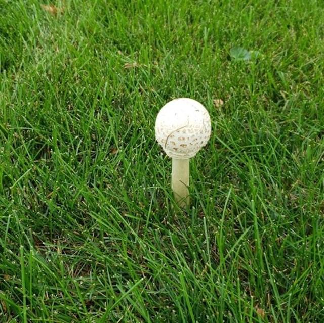 Ova gljiva izgleda identično kao golf loptica na podlozi.